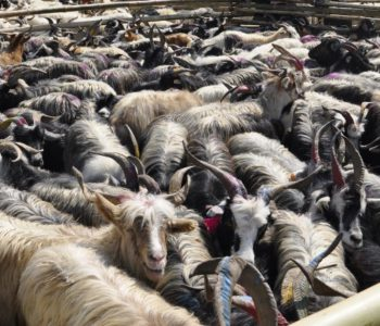 Sales of mountain goats this Dashain decline due to high price