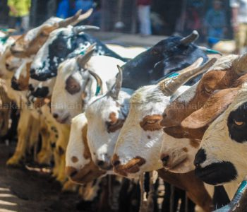 Sixty-thousands goats being supplied to Kathmandu Valley for Dashain